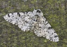 Peppered moth photo